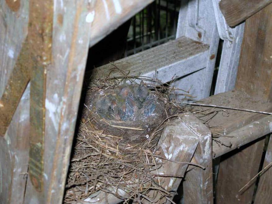 Spring Baby-Robins
