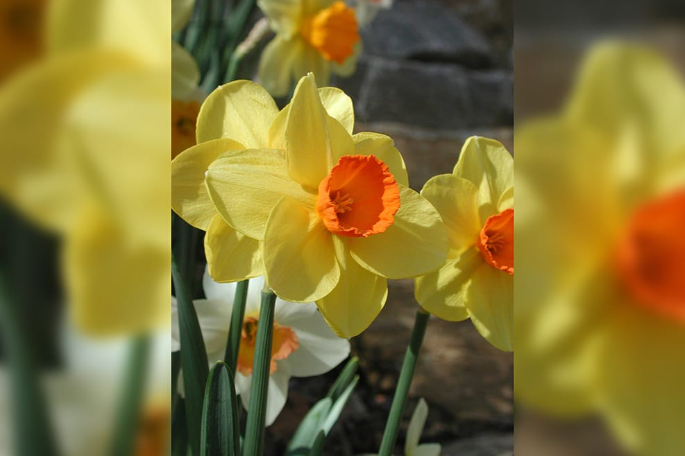 Spring Daffodils-verticalblurrybkg
