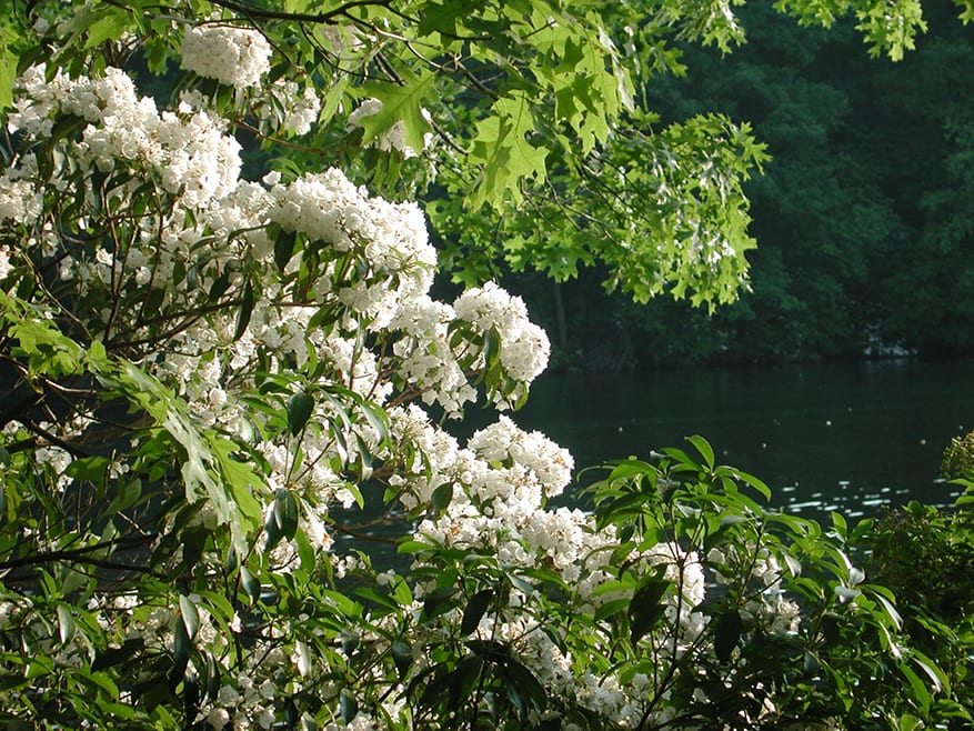 Spring Mountain Laurel
