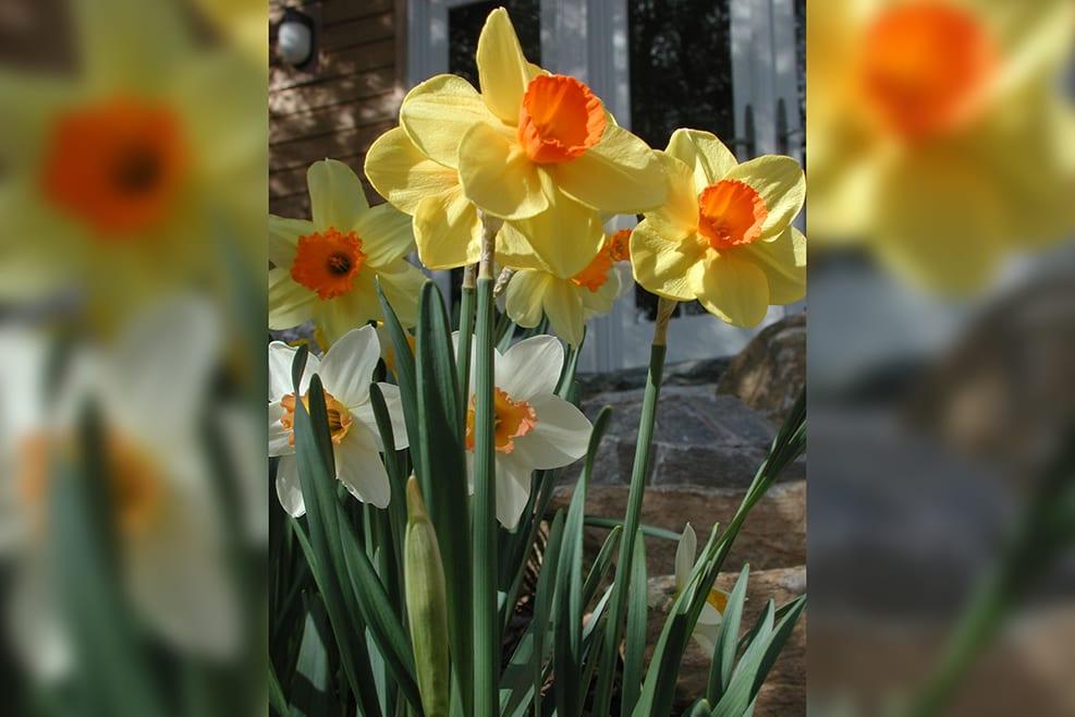 Spring daffodil-verticalblurrybkg