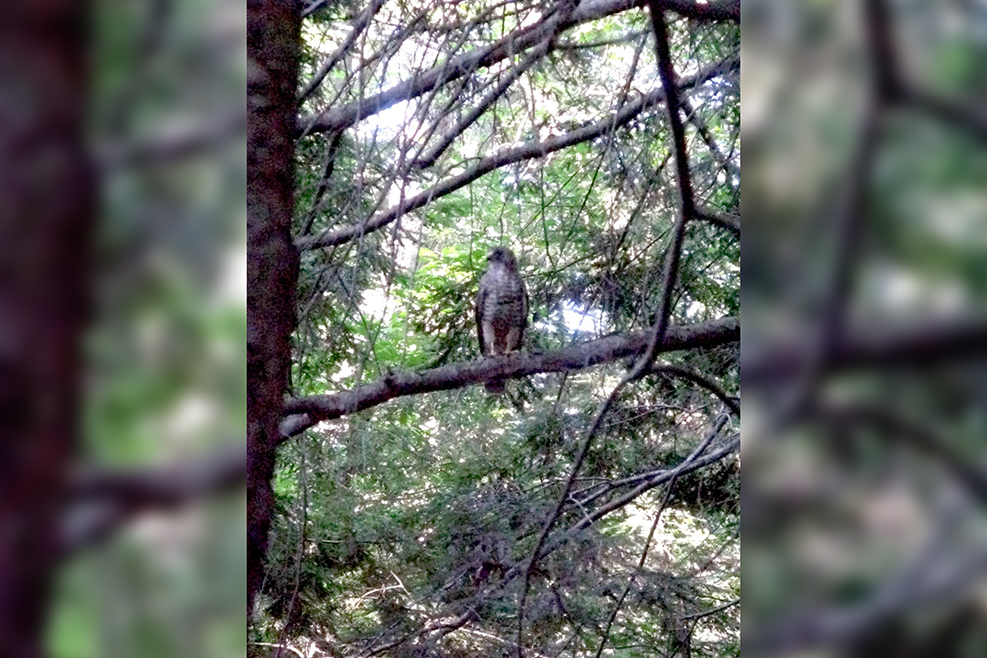 Summer Falcon-blurrybackground