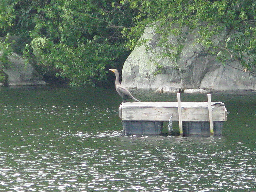 Summer Heron (2)