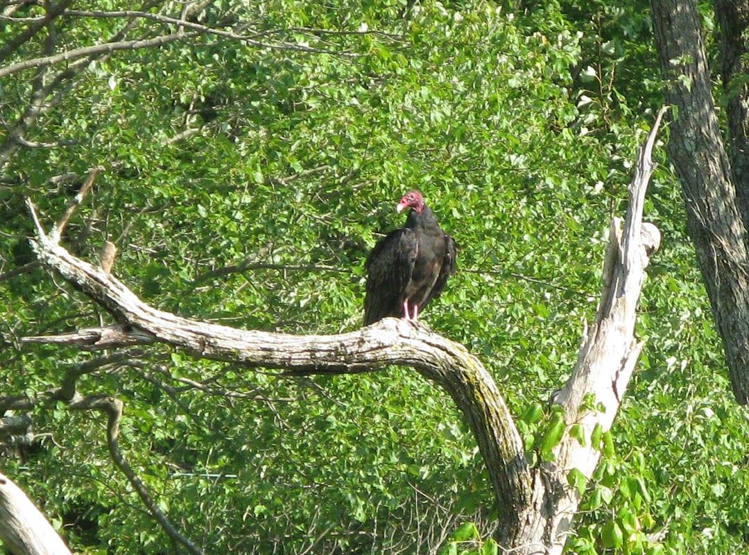 Summer-Turkey-Vulture
