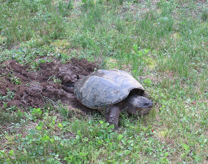 Summer snap turtle laying eggs